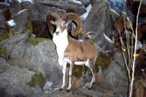 carlsonBearded Sheep standing