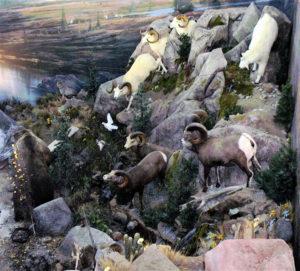 carlsonDall Sheep coming down mountain