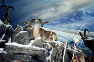 carlsonMountain sheep w dark cloud in sky background
