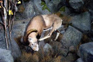 carlsonScatching Sheep