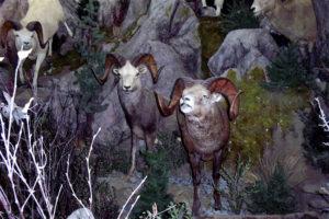 carlsonSneering Sheep