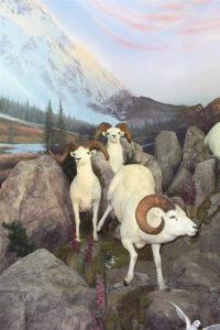 carlsonThree Dall Sheep coming down mountain